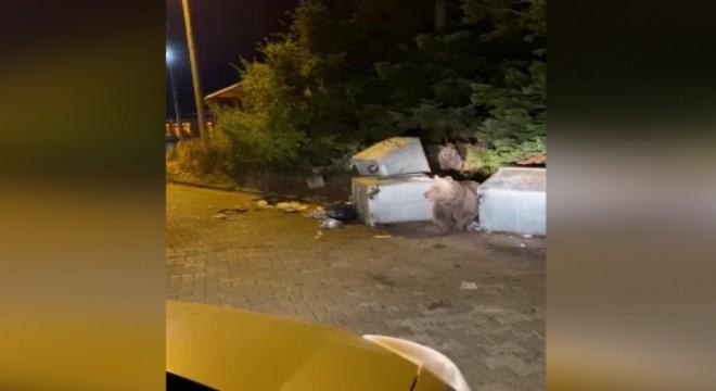 Uludağ'da aç kalan ayılar çöp konteynerini devirdi